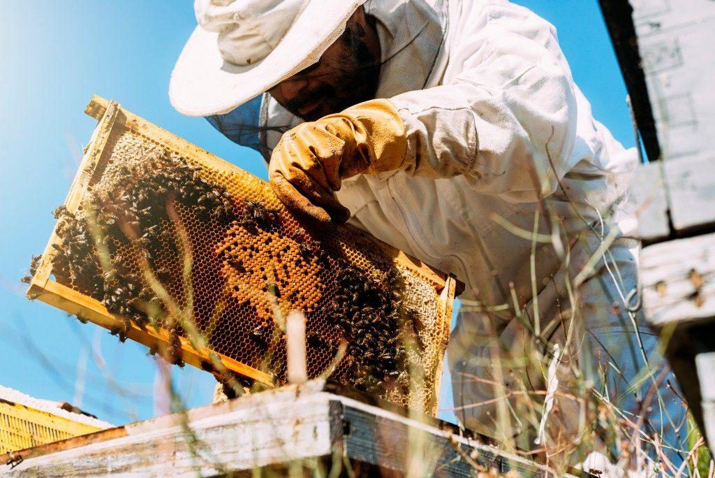 beekeeper handling the honeybees