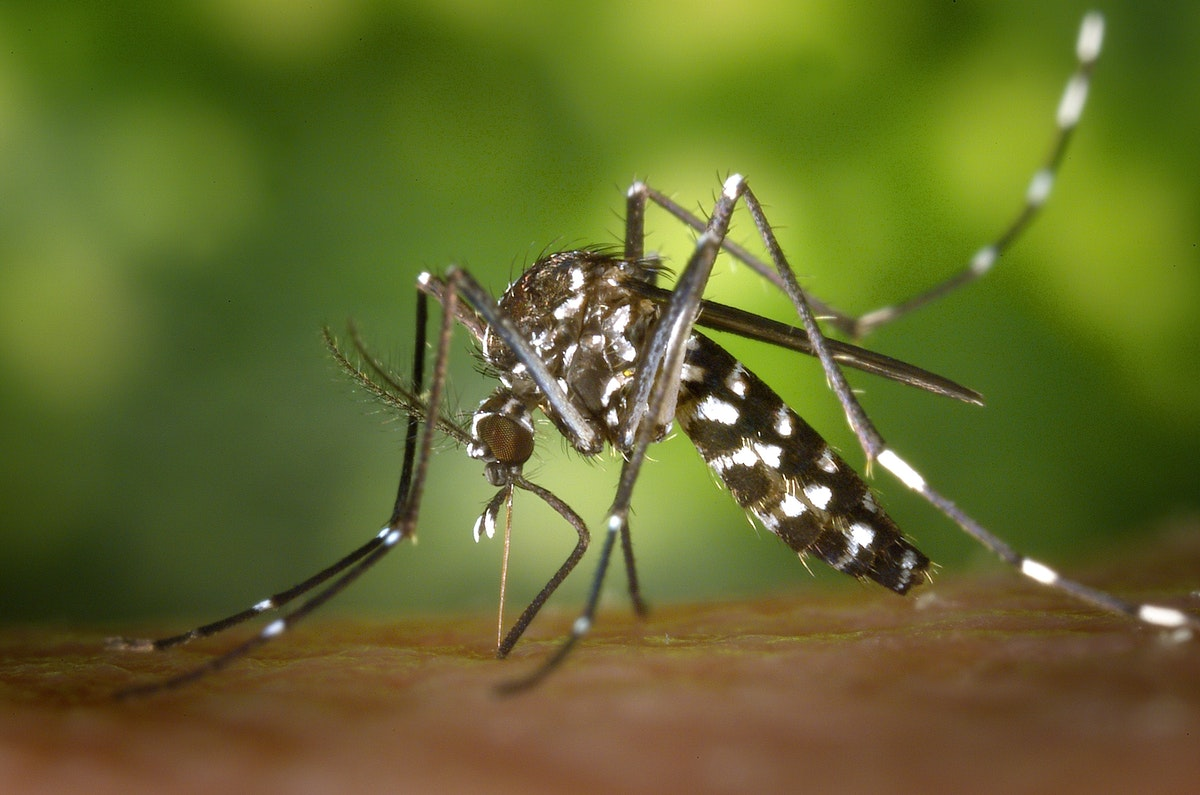 close view of mosquito